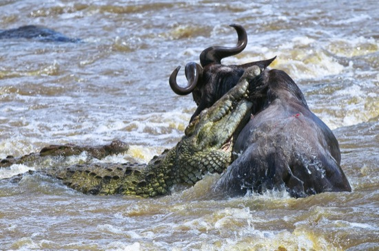 MASAI MARA, KENYA: Crocodiles attack the defenceless wildebeest in the Masai River during August 2009. As hundreds of wildebeest crossed the Masai River giant crocodiles lay in wait in Kenya's Masai Mara game park during the annual wildebeest migration. This adult male was picked out and crocs spent over an hour thrashing around in the raging rapids as the desperate animal struggled to get away. Weakened by the fight the wildebeest eventually died. PHOTOGRAPH BY DAVID LLOYD / BARCROFT MEDIA LTD UK Office, London. T +44 845 370 2233 W www.barcroftmedia.com Australasian & Pacific Rim Office, Melbourne. E info@barcroftpacific.com T +613 9510 3188 or +613 9510 0688 W www.barcroftpacific.com Indian Office, Delhi. T +91 997 1133 889 W www.barcroftindia.com