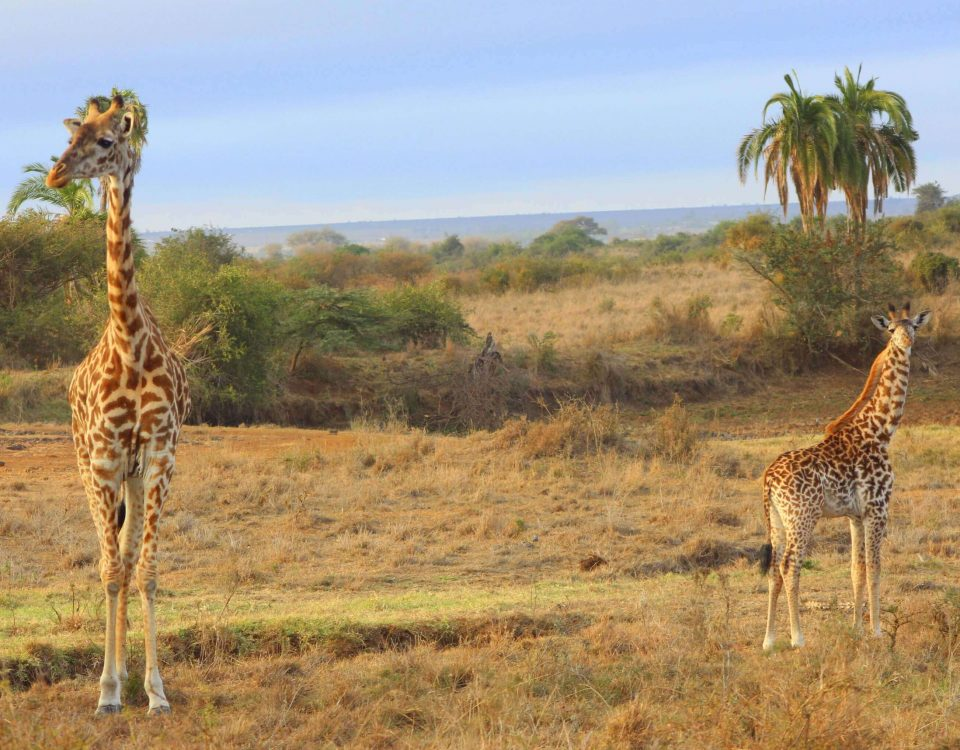 Mother and Calf Giraffe and Nairobi National Park