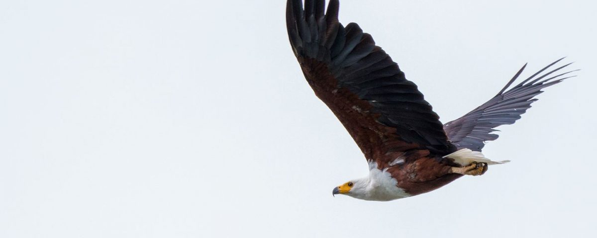 African Fish Eagle via Tony Wild